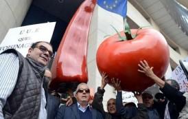 عودة الحرب على الطماطم المغربية بسبب المنافسة الأوربية