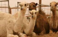 بالفيديو. السعودية تطرد الإبل والأغنام القطرية ضمن العقوبات المسلطة على الدوحة