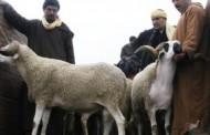 لمحاربة ظاهرة تعفن الأضاحي .. المغاربة سيشترون أكباش العيد بـ