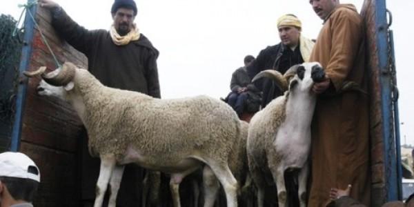 """لمحاربة ظاهرة تعفن الأضاحي .. المغاربة سيشترون أكباش العيد بـ""""البون"""" !"""