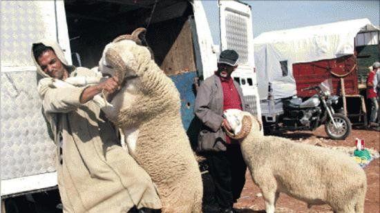عصابة متخصصة تسرق 40 خروفاً ضواحي تيزنيت مع قرب عيد الأضحى