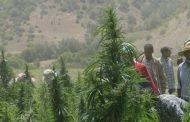 تقرير دولي : مليون مغربي يعيشون على زراعة الحشيش !