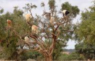 فيديو/ مصور أجنبي يكشف تحايل فلاحين على السياح بإجبار الماعز على تسلق شجر الأركان بسوس !