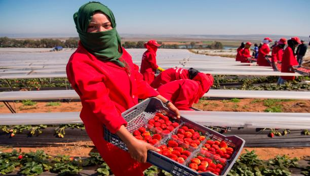 القضاء الإسباني يحقق مع مغاربة متهمين بالتحرش بنساء بلدهم في حقول الفراولة !