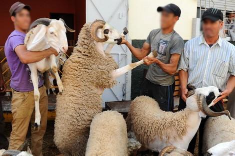 وزارة الفلاحة تعلن تلقيح قرابة 3 ملايين رأس من الماشية موجهة لعيد الأضحى