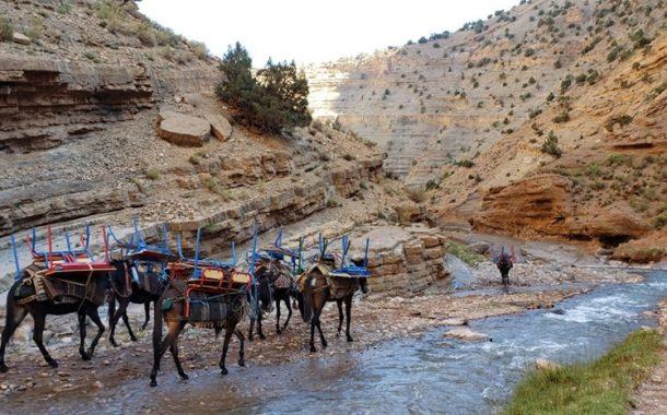 صور وفيديو/ الدواب تنقل الطاولات و المحافظ الدراسية لأبناء الرحل بجبال تنغير !