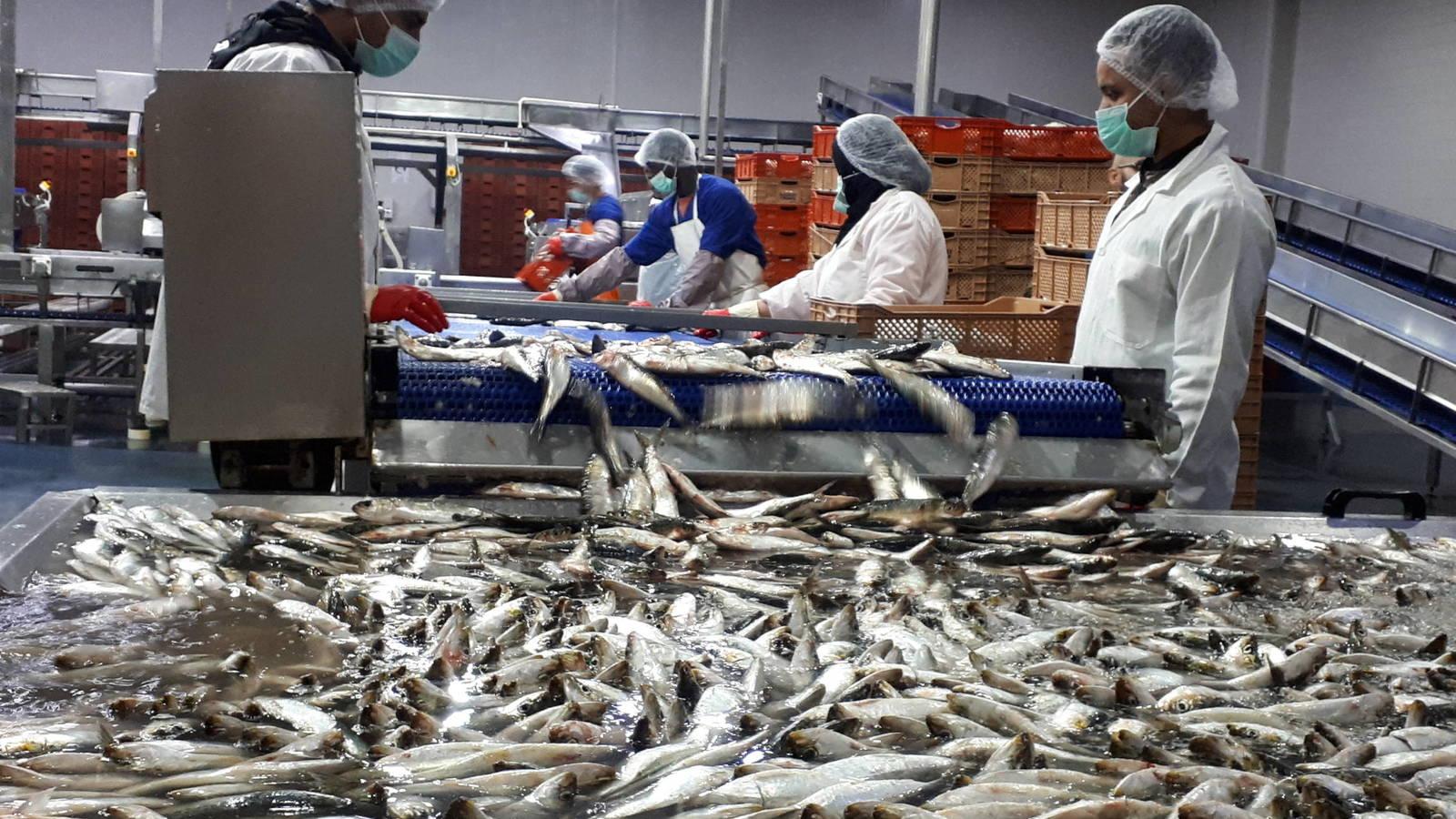 إسبانيا تتلف 24 طن من الأسماك المغربية في ميناء الجزيرة الخضراء للإشتباه في وجود مخدرات !