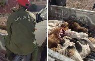 صور/رئيس بلدية دار بوعزة يُخصص ميزانية لقتل الكلاب بوحشية