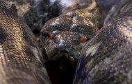 أضخم ثعبان في العالم يلد 26 من صغاره بأكادير