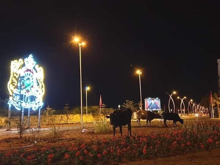 صور/ الأبقار تلتهم وروداً نبتت بين عشية و ضحاها بالصويرة لاستقبال الملك !
